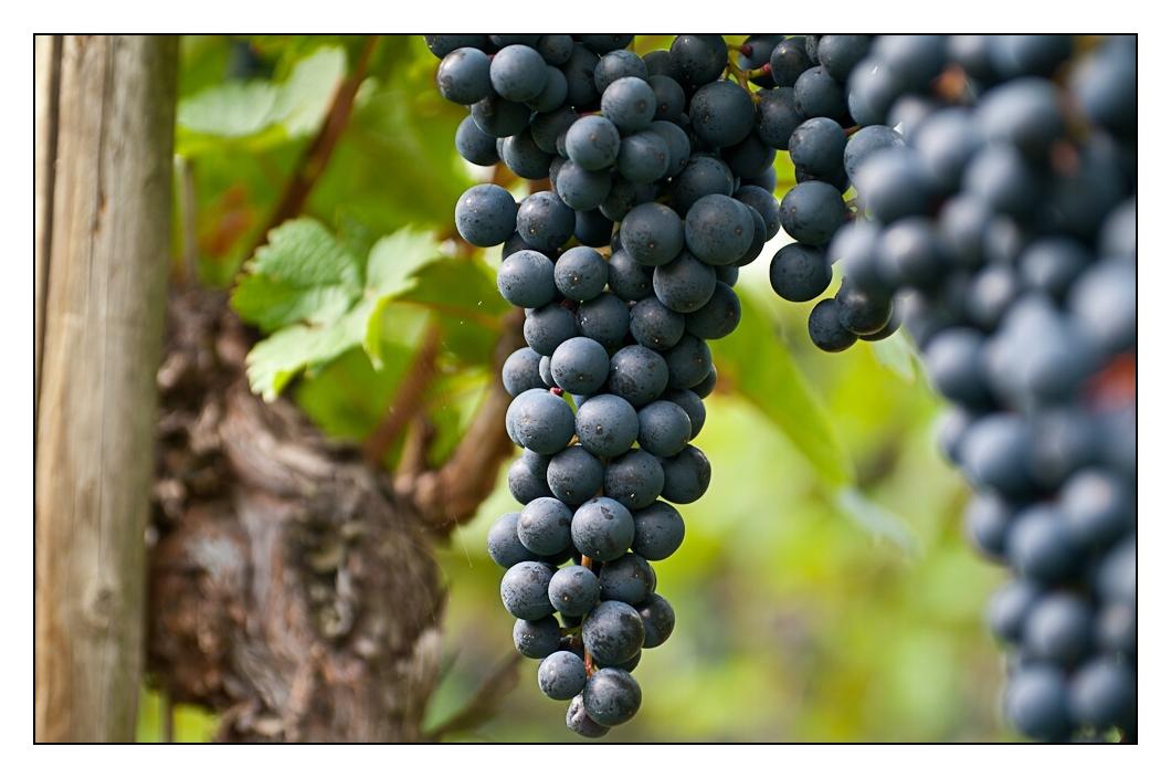 künftiger Rotwein
