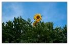 eine Sonnenblume blickt über die Hecke