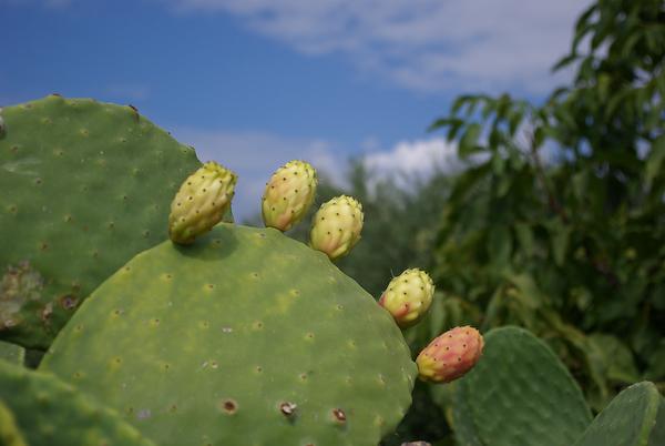"""Urlaub 2008 - der """"Finger""""-Kaktus"""