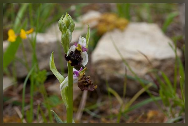 Bienen-Ragwurz (sehr selten)