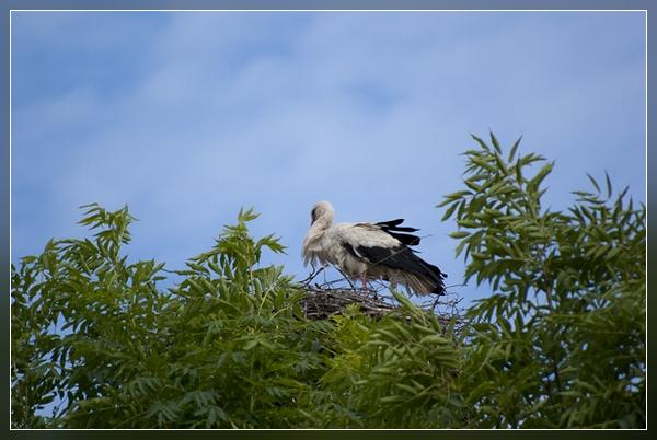der Storch - derzeit sehr häufig im Spreewald anzutreffen