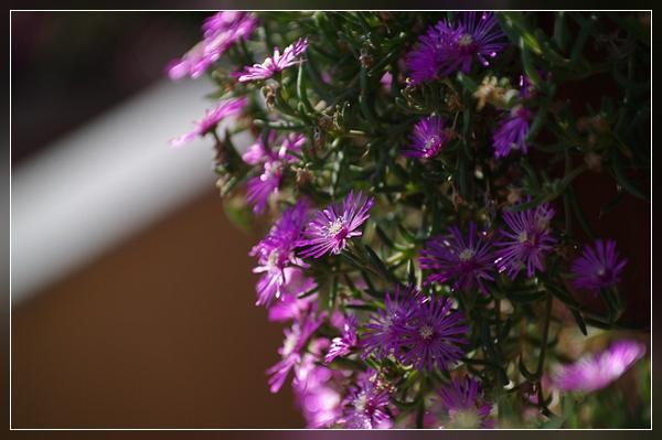 Wiedererweckte Blütenpracht auf der Terrasse