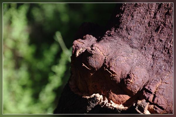 Kork-Eichen - ein Wahrzeichen der Insel